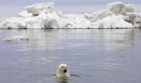 Ijsbeer, Beaufort Zee, Alaska